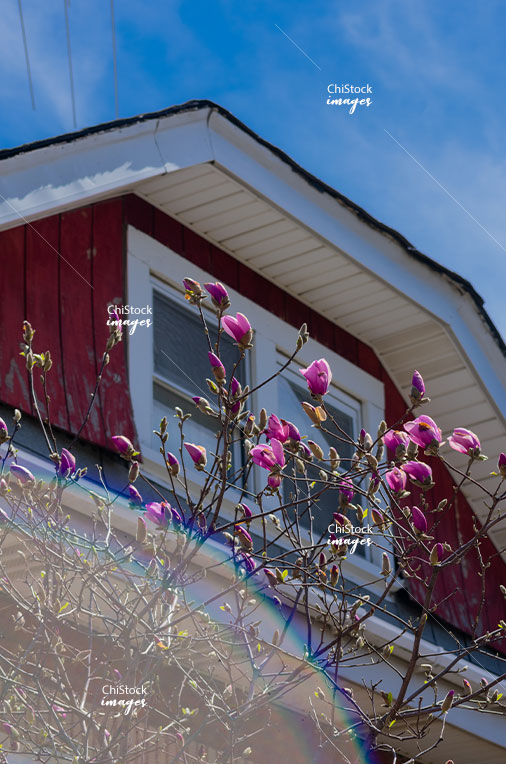 Spring flowers and Bungalows in South Lawndale Chicago