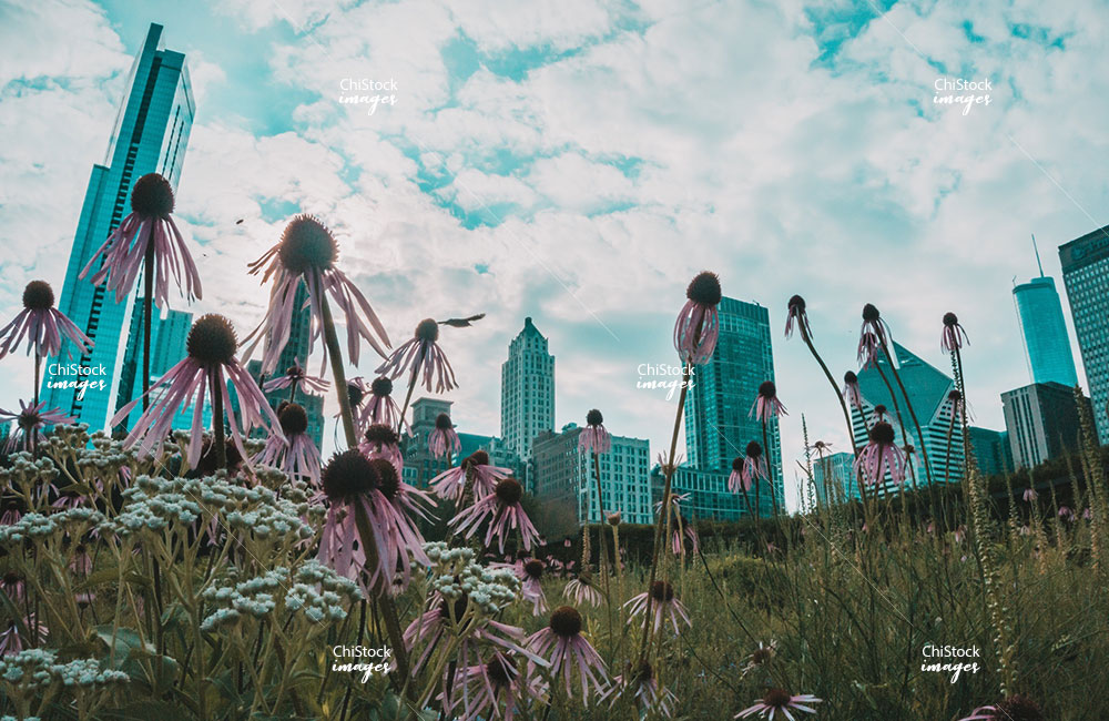 Spring Flowers Blooming with Chicago Skyline in Background